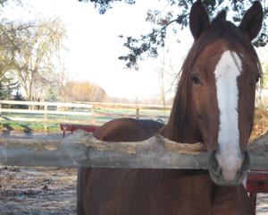 Why do Horses Chew Wood ?