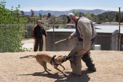 Protection Dog Demo