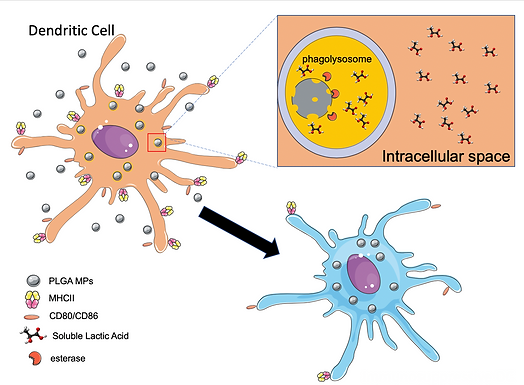 The effect of the lactate on the innate immune cells