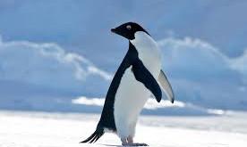 Quelle est la différence entre un manchot et un pingouin?