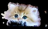 chaton british longhair golden