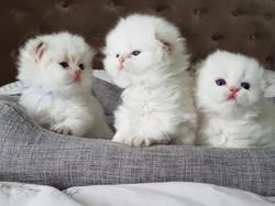 Chatons Plume et ses frère et soeur