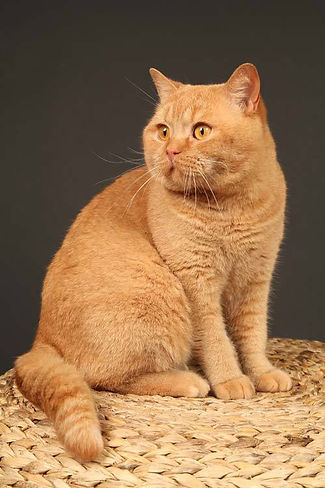 british shorthair roux