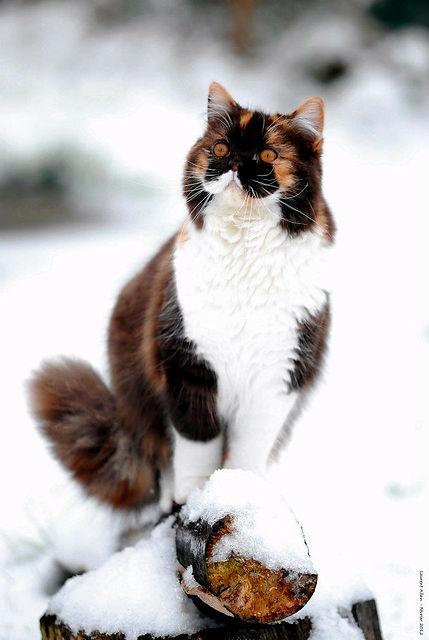 british longhair tricolore