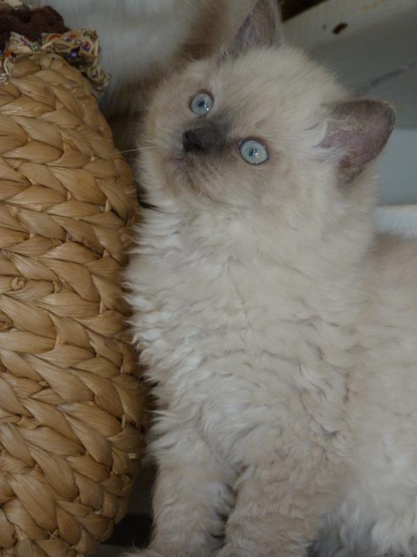 Blue point Selkirk rex