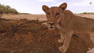 A la découverte des lions