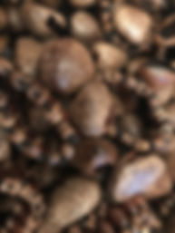PANGI SEEDS www.richardolatunde.com.jpg