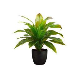 decor - Dracena floor plant.jpg