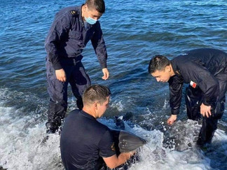 Queilen: pese a esfuerzos de rescate, muere cría de delfín enmallada en red de pesca