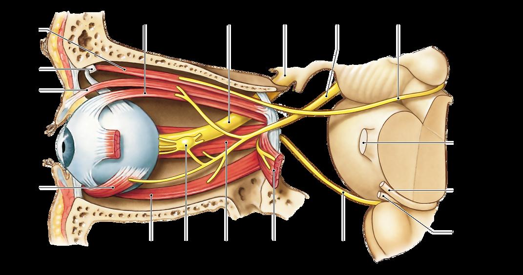 imgbin_oculomotor-nerve-optic-nerve-cran