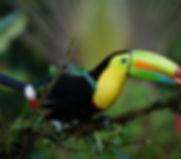keel-billed-toucan-1021048_1280.jpg