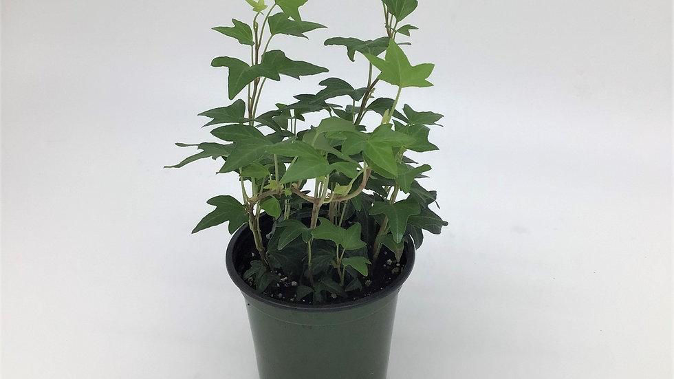 """4"""" Ivy - Green"""