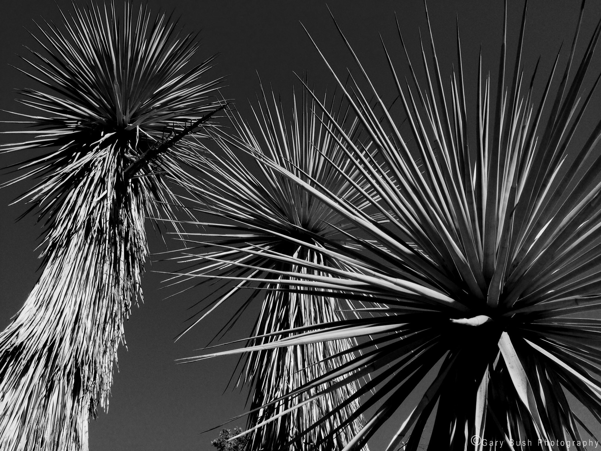 Yucca faxoniana Trees