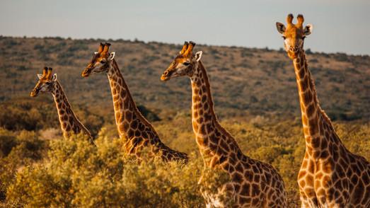 Girafa II.jpg