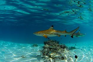 Tahiti_Shark_Blue.jpg