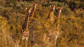 Girafa III.jpg