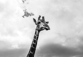 Girafa I.jpg