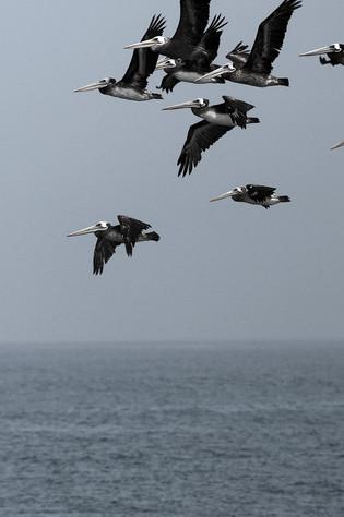 Pelicanos.jpg