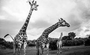 Girafa IV.jpg