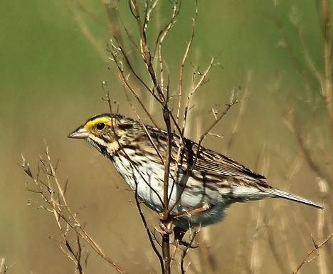Savannah Sparrow - Mike Leahy.JPG