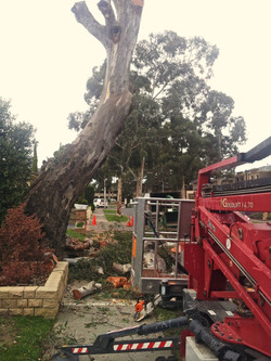 EWP on a Red Gum (rotted out base)