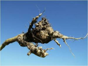 Clubroot: What you need to know