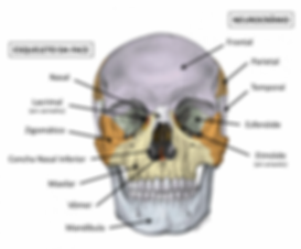 Ossos do Crânio