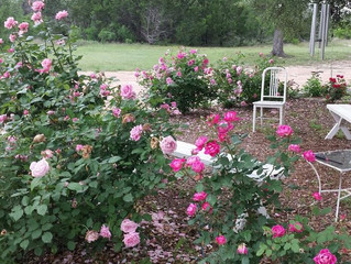 Our roses have never looked lovelier!