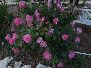 Kind of an impressionist rose bush kinda thing!