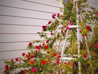 Trellis Roses are back, and very pretty!