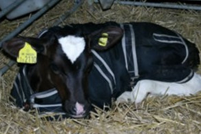 Feel The Benefits of Calf Jackets