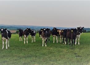 Season Long Parasite Control In Cattle