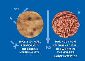 Don't let small redworm turn your horse's gut into a leaky tea bag