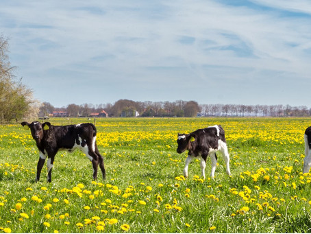 90+ Actotrace Calf Bolus - Support Weaned Calves at Grass