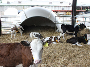 Calf Nutrition & Accelerated Feeding - PYONS Frequently asked questions and misconceptions
