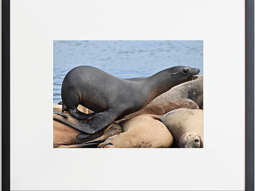 Framed Seal 02 Photography By Concetta Ellis