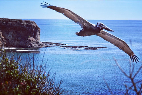 Note Card Abalone Cove Pelican RPV, CA  Photography By Concetta Ellis