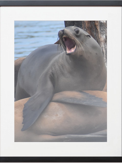 Framed Seal 01 Playful Photography By Concetta Ellis