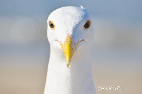 Note Card Seagull 03 Portrait Manhattan Beach, CA Photography By Concetta Ellis