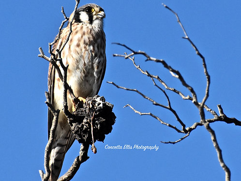 Note Card Bird Falcon Eating Lunch RPV, CA  Photography By Concetta Ellis