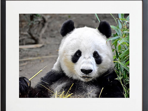 Framed Panda 01 Photography By Concetta Ellis