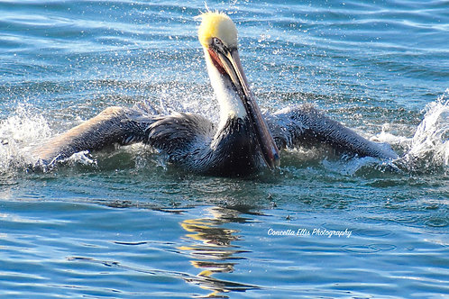 Note Card Pelican 12 Splash Redondo Beach, CA Photography By Concetta Ellis