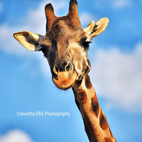 Note Cards Giraffe #2 Photography By Concetta Ellis