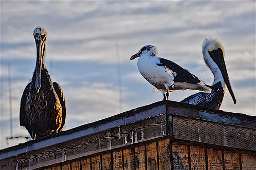 Note Cards Pelican And Seagulls San Pedro, CA Photography By Concetta Ellis