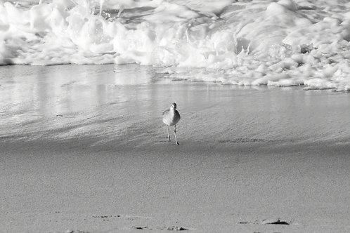 Note Card Sandpiper Bird 04 Black And White Photography By Concetta Ellis
