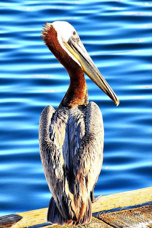 Note Card Pelican Solo San Pedro, CA  Photography By Concetta Ellis