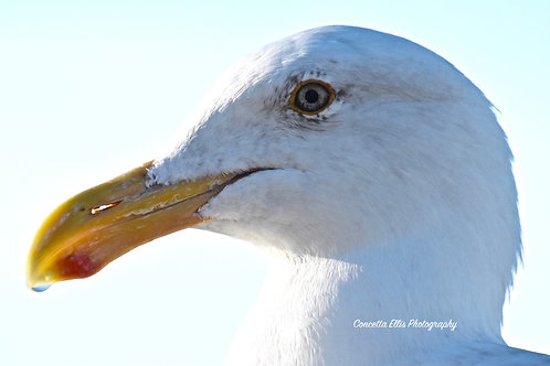 Note Card Seagull 12 Profile Portrait Photography By Concetta Ellis
