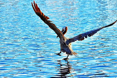 Note Card Pelican 05 Landing San Pedro, Ca Photography By Concetta Ellis