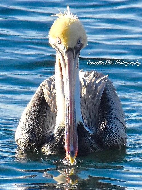 Note Card Pelican 13 Portrait Photography By Concetta Ellis
