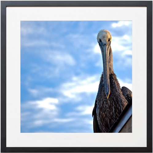 Framed Pelican Stare Photography By Concetta Ellis